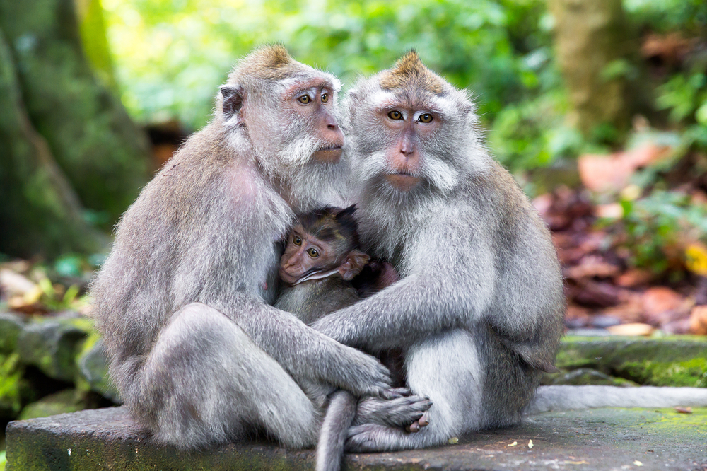 Family of long-tailed macaque in Sacred Monkey Forest, Ubud, Bali