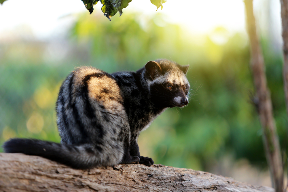 the Asian Palm Civet in Bali