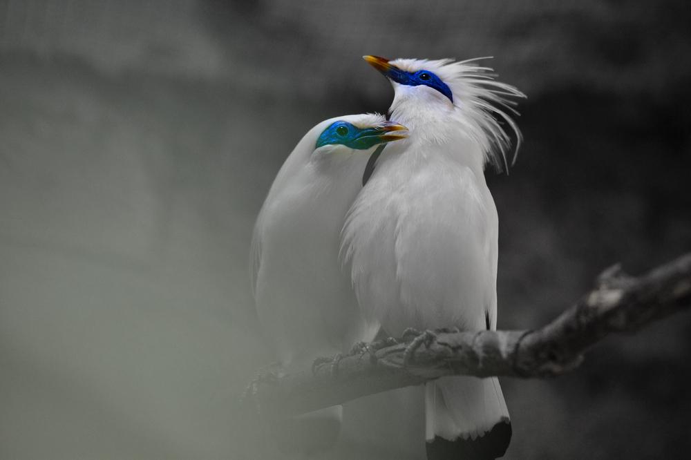 The endangered Bali Myna Birds