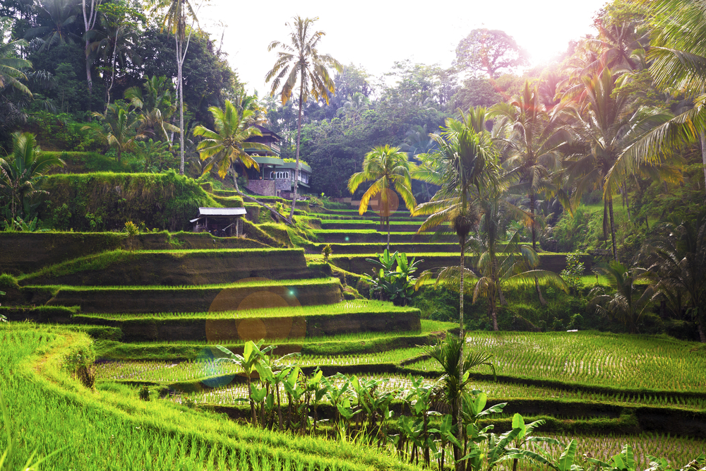 The rice fields around Ubud are world-famous