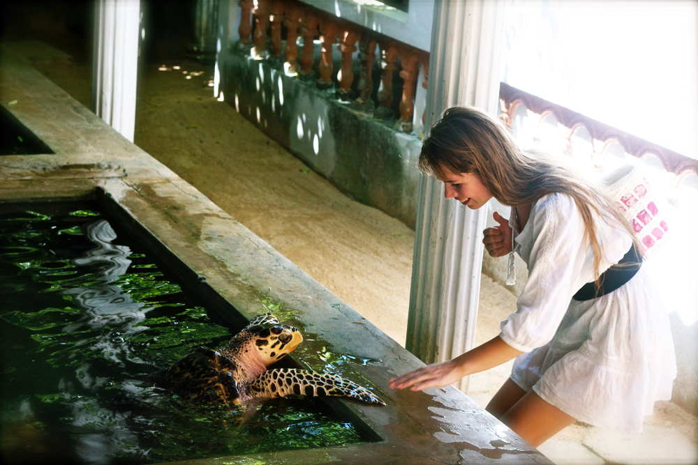 turtles in bentota